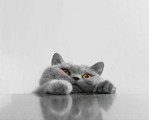 f-cat